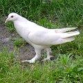 #gołąb #gołąbek #biały #cudowny #śliczny #mały