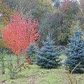 Kontrast jesiennych barw drzew. #jesień #drzewa #przyroda #OgródDendrologiczny