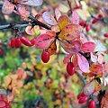 #fotografia #jesień #krzak #owoc