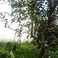 Wakacje #przyroda #wakacje #zieleń #las #drzewo #wiśnia #trawa #liść #gałęzie