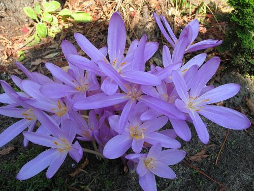 #kwiaty #zimowity #ogród #jesień