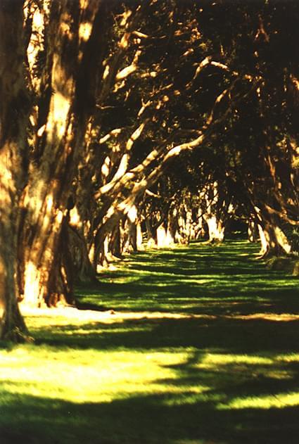 Korytarz eukaliptusów, park, Sydney, pion #korytarz #eukaliptusy #trawa #cienie #słońce
