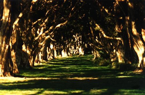 Korytarz eukaliptusów, park, Sydney, inaczej... #korytarz #eukaliptusy #slońce #cienie #światło #trawa