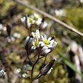 Gwiazdnica pospolita (Stellaria media).Kwiaty w makrofotografii #przyroda #natura #rośliny #kwiaty #botanika #makrofotografia #FloraPolski #KwiatyPolne #wiosna