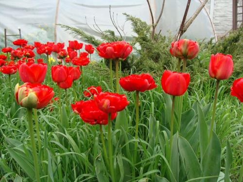 Roślinki prosto z ogródka.Tulipany #KwiatyRoślinyTulipanyOgród