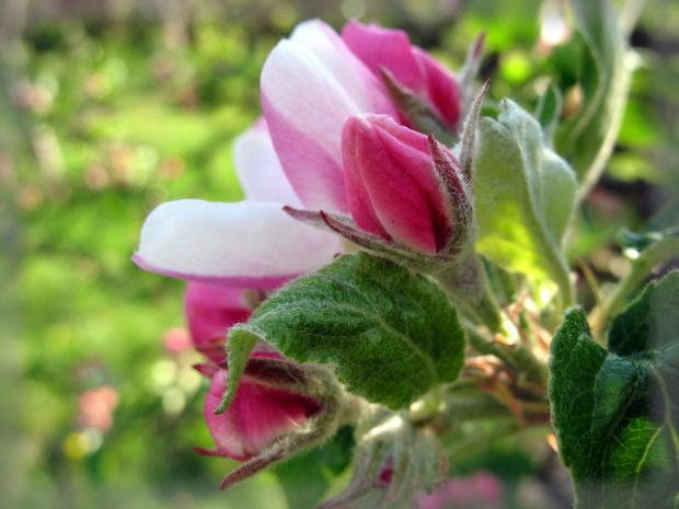 #wiosna #kwiaty #jabłoń