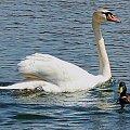 dwaj przyjaciele z... jeziorka;) #łabędź #kaczor #jezioro