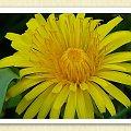 Naprawdę fascynująca uroda tych, tak zwyczajnych i pospolitych.... #mlecz #MniszekLekarski #kwiatek #wiosna