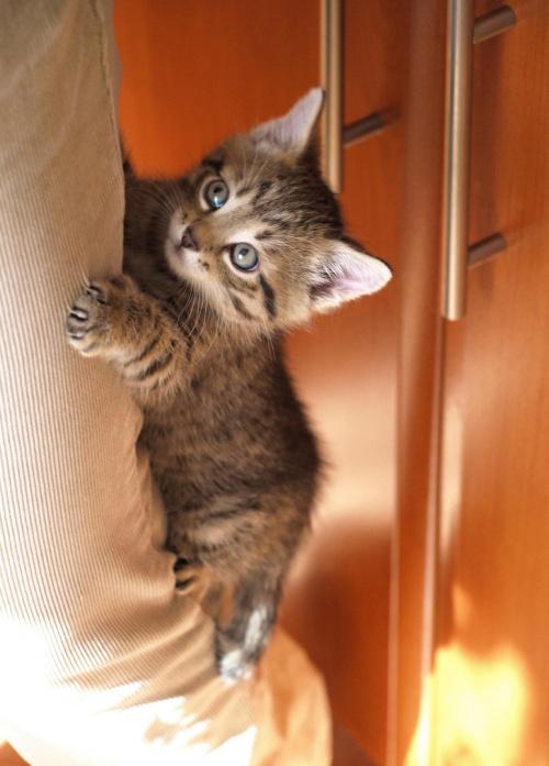 Maciek wspinający się po nodze ;-) #kot #kocurek #koty #Maciek