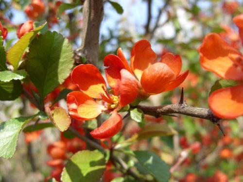 kwiatuszek... #czerwień #kwait #kwiaty #krzew #krzewy #wiosna