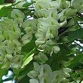 #akacja #kwiaty #maj