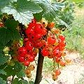 Dojrzewające Porzeczki #dojrzewanie #drzewko #krzaczek #krzak #lato #lisc #macro #makro #natura #ogród #owoc #porzeczka #sad #zielen