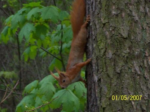 Rudy 103 #las #LasBielański #LasekBielański #LeśnePiękno #PięknaWiewiórka #PiękneZdjęcie #piękno #rudy #Rudy102 #wiewiórka #WiewiórkaWLesie #WiewiórkaWLesieBielańskim #ZdjęcieWiewiórki #PiękneZdjęcieWiewiórki #WiewiórkaRuda #lasek