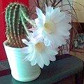 Oto kwiat kaktusa który kwitnie raz do roku by przez pół dnia cieszyc oko. #KwiatekKaktusika #kaktus #kwiat #bialy #dzien #rok