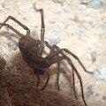 Kątnik #makro #pająk #pająki #owady #przyroda #natura #zwierzęta #drapieżnik #myśliwy #makrofotografia