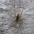 #pajęczaki #zwierzęta #kosarz #pajeczak #drapieżne