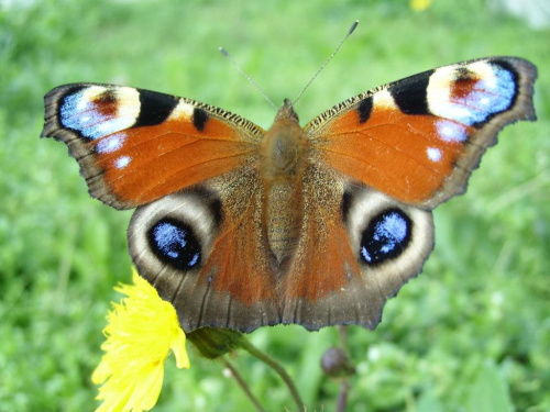 Motyl #motyl #owad