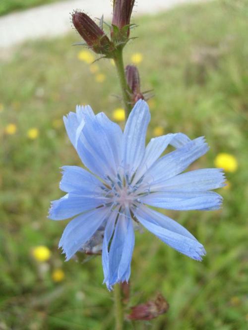 Niebiesko... #kwiat